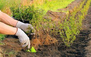Последовательность посадки живой изгороди